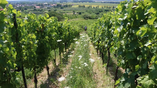 Covering the ground in a diverse mix of native species is not only useful in erosion protection, it is also a popular habitat for living organisms that protect grapes from certain pests. Source_ ÖMKi.jpg (1)
