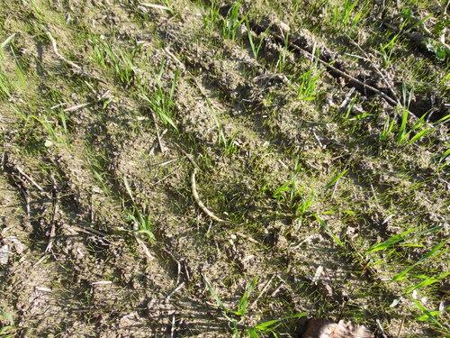 Nagy széltippan sűrű kelése őszi búza vetésben_1