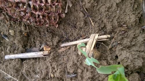 Barkó kártétel kukorica csíranövényen