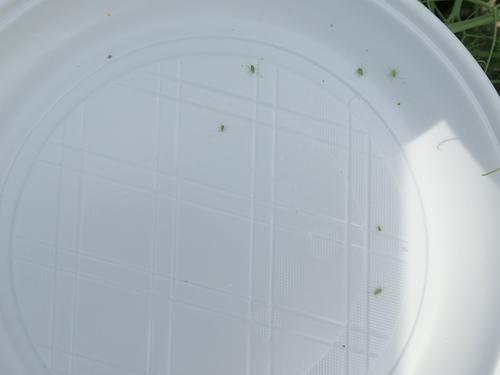 Zöld borsó levéltetvek a kopogtatás után egy műanyag tányérban